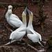 Gannets dance