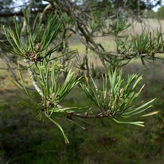 *Pinus sylvestris, SCOTCH PINE needles (openspacer) Tags: jasperridgebiologicalpreserve jrbp naturalized nonnative panic people pine pinus
