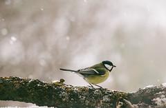 It's snowing again (Inka56) Tags: 7dwf fauna greattit snow bird songbird winter winterbeauty