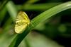 _DSC2201 (kitefarrago) Tags: locations madrededios manunationalpark peru pieridae whites butterflies