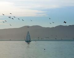 Crossing the Bay (Greg Adams Photography) Tags: sanfrancisco sanfranciscobay bay water boat sailboat sail birds flight sailing marin sf sfbay northerncalifornia california ca calif hhsc2000 2018 winter
