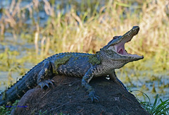 """Let the Gator Growl"" (in Explore) (Gatorgirl51) Tags: florida alligator growl reptile nikon"