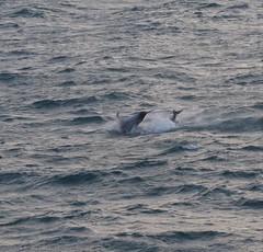 White-beaked Dolphins (tom_2014) Tags: water sea ocean wave breach dolphin whitebeakeddolphin mammal lagenorhynchus albirostris lagenorhynchusalbirostris calf animal nature ecology biodiversity species marine marinemammal cetacean iceland icelandic nordic scandinavia reykjavik