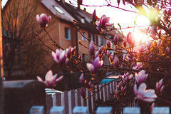 in your neighborhood (thethomsn) Tags: neighborhood suburb flare sunlight sunset fence magnolia floral blossom tree primelens germany thethomsn spring season 50mm