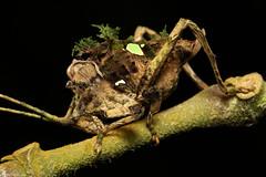 Cryptic juvenile katydid (edward.evans) Tags: guayacánrainforestreserve guayacan crarc siquirres costarica rainforest wildlife nature centralamerica latinamerica insect macro katydid cricket bushcricket tettigoniidae orthoptera cryptic camouflage costaricanamphibianresearchcenter