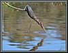 Suspended animation!!! (WanaM3) Tags: wanam3 nikon d7100 nikond7100 texas pasadena clearlakecity horsepenbayou bayou outdoors fishing canoeing paddling animal reflection bird heron greenie greenheron