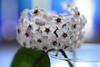 Hoya (Ptolemy the Cat) Tags: flowers garden nikond600 tamronf2890mmmacrolens hoya