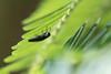 Agrilus subrobustus (kenta_sawada6469) Tags: insect insects macro wildlife nature japan mountain field tree bug bugs buprestidae jewelbeetle beetle beetles coleoptera