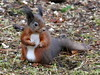 Red Squirrel (eric robb niven) Tags: redsquirrel wildlife springwatch dundee scotland tentsmuir forest