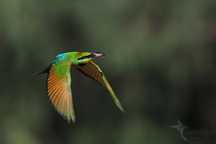 Rainbow Bee-eater (VS Images) Tags: rainbowbeeeater beeeaters meropsornatus meropidae birds bird birding bif birdsinflight flight feathers wildlife wildlifephotography animals avian australianwildlife australianbirds australia nsw nature ngc naturephotography vsimages vassmilevski cicada insect olympus olympusau getolympus m43 male
