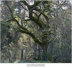 Saratoaka (Sherwood Harrington) Tags: california santaclaracounty saratoga oak moss lichen tree post