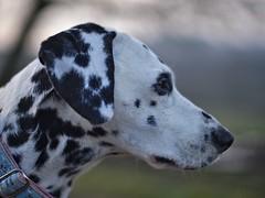 Shisana (jens.steinbeisser) Tags: deutschland olympusepl3 dalmatiner hund niedersachsen shisana 14 focalreducer canonfd50mm14 dog germany