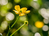 ..go outside and play.. (dawn.tranter) Tags: dawntranter bokeh hbw bokehwednesday dew droplets sunlight backlit buttercups petals