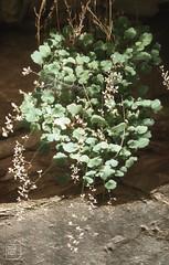 Heuchera versicolor. Alum root saxifrage, Zion (Mary Gillham Archive Project) Tags: 19811984 1984 87122 alumrootsaxifrage heucheraversicolor planttree usa utah zionnationalpark