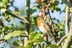 robin-00608 (ian grunnill) Tags: birds nature tree robin red breast blackcap