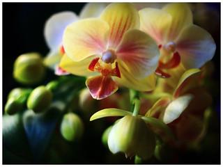 花開富貴,蝴蝶蘭   Butterfly orchid (Phalaenopsis)