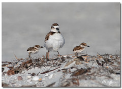Wilson Plover & Chicks (Betty Vlasiu) Tags: wilson plover chicks chick bird nature wildlife florida charadrius wilsonia