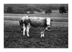 mucche a Neuchâtel in Svizzera - settembre 1952 (50-6) (dindolina) Tags: photo fotografia blackandwhite bw biancoenero monochrome monocromo mucca cow animal 1952 1950s annicinquanta vintage vacation vacanze viaggio neuchâtel switzerland svizzera