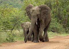 Ask permission ! (paul.ralphs) Tags: elephants africa safari gamereserve pilanesberg canon canon7d nature trees animals wildlife bushveld