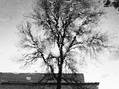 Tree Puddle Reflections (Orbmiser) Tags: mzuikoed1240mmf28pro 43rds em1 mirrorless olympus ore portland m43rds bw tree puddle reflections