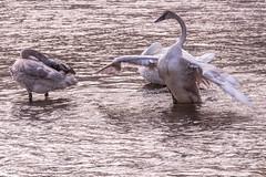 Swans (leandrews2) Tags: swans flight wings river