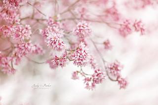 Okame Cherry Blossom