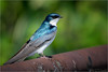 Tree Swallow (soupie1441) Tags: tree swallow big creek national wildlife reserve ontario canada nikon d7200 200500mm nikkor animal