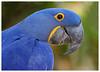 Hyacinth macaw - Anodorhynchus hyacinthinus (docsunny) Tags: hyacinth macaw
