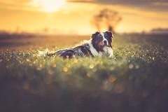 Dex (der_peste (on/off)) Tags: dog canine hund australianshepherd aussie bordercollie shepherd sunset sundown bokeh dof depthoffield shallowdepthoffield animal pet soulmate lowpov pointofview sunlight colors sundowner merle