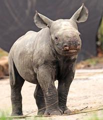 black rhino Blijdorp BB2A8653 (j.a.kok) Tags: rhino rhinoceros blackrhinoceros zwarteneushoorn neushoorn babyneushoorn neushoornkalf rhinocalf calf kalf africa afrika animal blijdorp mammal zoogdier dier herbivore naima blijdorpzoo