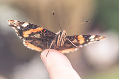 The Admiral waves (dusk_rider) Tags: red admiral butterfly english england peaceful nikon d7200 nikkor 60mm f28d simplepleasures flickr friday waving camera flickrfriday