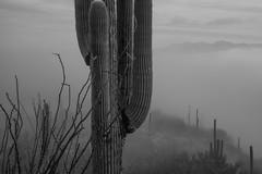 Tum013_small (patcaribou) Tags: tucson tumamochill sonorandesert fog cactii saguarocactus
