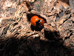 "Joaninha (Ladybug) (Hélio Paranaíba Filho) Tags: nature natureza inseto insect bug bugs joaninha ladybug pterygota endopterygota coleoptera polyphaga cucujiformia cucujoidea coccinellidae ""harmoniaaxyridis"" coccinellinae coccinellini"