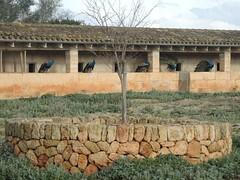 Morgendliche Pfau-Versammlung bei Son Real, Mallorca , NGID1840717773 (naturgucker.de) Tags: ngid1840717773 naturguckerde pfaupavocristatus sonreal mallorca cwolfgangkatz