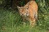 Eurasian Lynx-5022 (Parapan) Tags: bigcats canoneos7dmkii bigcatsanctuary lynx