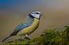 Blue tit - (Cyanistes caeruleus) 'Z' for zoom (hunt.keith27) Tags: posed posing taken local woodland autumnal beech tree background tit bluetit cyanistescaeruleus feathers beak wings perch devon autumn bokeh bird animal outdoor