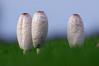 Coprin chevelu (-Dop-) Tags: agaricales bolland liège belgique coprinuscomatus