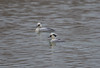 Smew (Male) Rutland Water 14-01-2017-0532 (seandarcy2) Tags: smew sawbill duck male rutland water