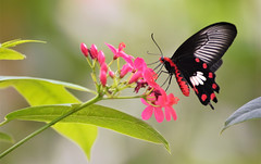 They know their colors (rvtn) Tags: butterfly butterflies pink flowers flower insects insect