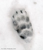 Badger footprint. (Tim Walton Photography.) Tags: badgerfootprint snow wildlife kent woods sony a57 timwaltonphotograohy