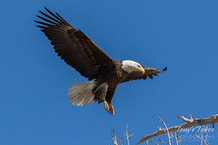 Bald Eagle approach and landing - 18 of 27