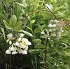 May Memory (Melinda Young Stuart) Tags: shrub blossoms flowers white bells spring ucbg botanical southcarolina temperate berkeley collection