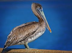 PELICAN ON THE EDGE (Wolf Creek Carl) Tags: wildlife birds pelican pier eastpoint florida nature outdoors blue shorebirds