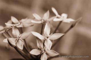 Ixora/ West Indian Jasmine - Sepia