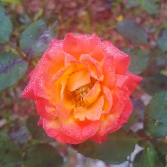 Rosa (Iggy Y) Tags: rosa autumn blossom flower orange color flowers green leaves frost nature garden plant ruža rose day light