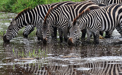 Some More Stripes ... (AnyMotion) Tags: plainszebras steppenzebra equusquagga thistry durstig drinking trinkend 2015 anymotion serengetinationalpark tanzania tansania africa afrika travel reisen animal animals tiere nature natur wildlife 7d2 canoneos7dmarkii