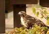 Red-tailed Hawk (C-O) Tags: nov 12corr144 arboretum bird redtailed hawk crescent farm nature arcadia ca