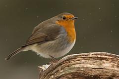 European Robin Erithacus rubecula (janmangorfagerland) Tags: rødstrupe robin norway karmøy wildlife nature janmangorfagerland snowing snowfall