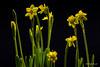 Jonquil garden (Magda Banach) Tags: canon80d jonquilla sigma150mmf28apomacrodghsm blackbackground colors flora green macro nature plants yellow