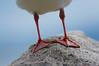 Headless (2) (OzzRod) Tags: pentax k3 pentaxdfa150450mmf4556 bird feet gull seagull silvergull bermagui australia